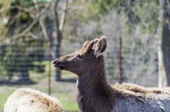 Лось, красный цвет замкнул оленей или Wapiti Стоковая Фотография RF