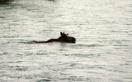 Лось наслаждаясь заплывом в Аляске стоковая фотография rf