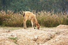 Лось (научное имя: Davidianus Elaphurus) Стоковые Фотографии RF