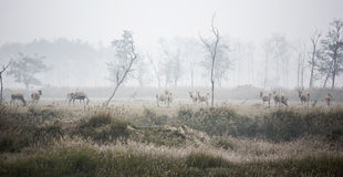 Лось (научное имя: Davidianus Elaphurus) Стоковая Фотография