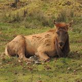 Лось отдыхает на траве на парке игры Стоковые Фотографии RF