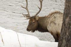 Лось пася на реке в национальном парке Йеллоустона стоковое изображение rf