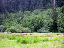 Лось Рузвельта в парке Redwood Стоковые Изображения RF