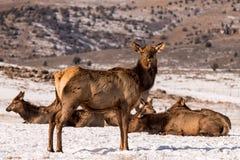 Лось скалистой горы коровы Стоковая Фотография RF
