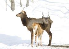 Лось стоя в снеге Стоковое фото RF