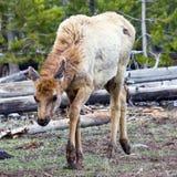 лось устрашил детенышей np yellowstone Стоковые Изображения RF