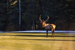 Лось Aplha на поле для гольфа в Banff, Wapiti оленей, национальном парке Banff, Альберте, Канаде стоковая фотография rf