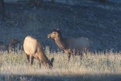 Лось Bugling коровы в луге Стоковое Изображение RF