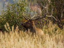 Лось Bull в высокорослой траве стоковое изображение