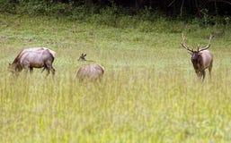 Лось Bull в Cataloochee во время прокладывать сезона Стоковые Изображения