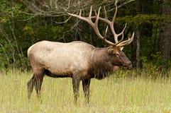 Лось Bull в Cataloochee, части закоптелых гор Стоковые Фотографии RF