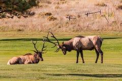 Лось Bull готовый для боя Стоковое фото RF