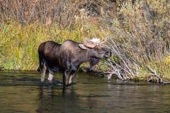 Лось Bull звучит во время колейности Стоковая Фотография