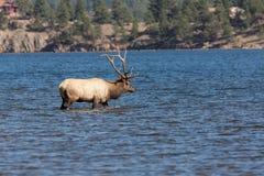 Лось Bull идя в отмелое озеро Стоковые Изображения RF