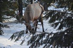 Лось Bull, национальный парк яшмы стоковая фотография
