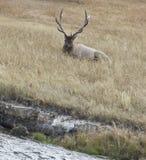 Лось Bull на солнечном после полудня в Йеллоустон, WY Стоковые Фотографии RF