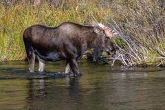 Лось Bull стоит в Moving воде Стоковое Изображение