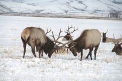 Лось Bull с большими Antlers воюя один другого Стоковое Изображение