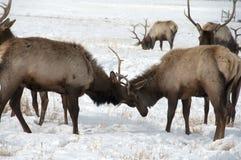 Лось Bull с большими Antlers воюя один другого Стоковое фото RF