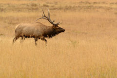 Лось Bull с большими antlers в золотом луге стоковая фотография rf