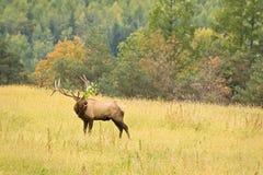 Лось Bull с ориентацией Стоковые Фото