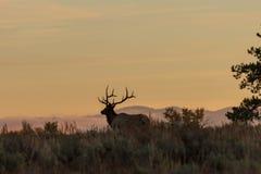 Лось Bull Silhouetted на восходе солнца Стоковые Фото