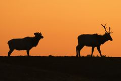 лось silhouettes заход солнца Стоковые Фото