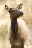 лось yellowstone Стоковое фото RF