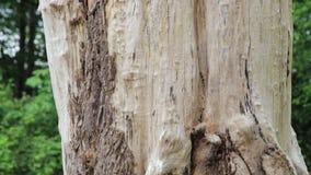 Лоток до гнезда woodpecker сток-видео