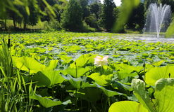 Лотосы в озере Стоковые Фотографии RF