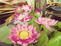Лотос в болотах природы, винтажный стиль Стоковая Фотография