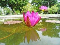 Лотос в болотах природы, винтажный стиль Стоковые Фото