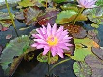 Лотос в болотах природы, винтажный стиль Стоковое Изображение