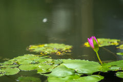 Лотос в пруде Стоковая Фотография