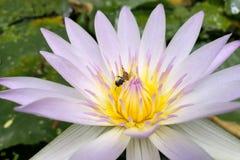 Лотос в пурпуре и одна пчела на цветне стоковое изображение