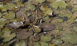 Лотос в сухом пруде в сезоне лета Стоковые Фото