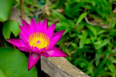 Лотос зацветая для солнца в воде Стоковая Фотография RF