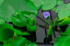 Лотос зацветая для солнца в воде стоковая фотография