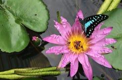 Лотос или фиолетовая лилия воды стоковое изображение rf