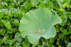 Лотос лист зеленый Стоковые Изображения