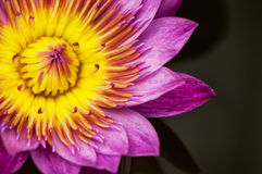 Лотос лилии воды Стоковое Изображение RF