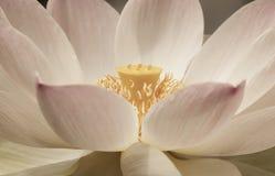 Лотос лилии воды Стоковая Фотография RF
