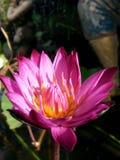 Лотос лилии воды Стоковое Фото