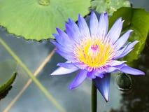 Лотос лилия воды в саде Стоковые Изображения RF