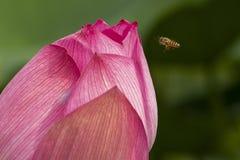 Лотос и пчелы стоковое изображение