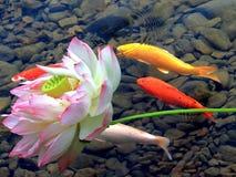 Лотос и рыбы koi Стоковое Изображение RF