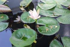 Лотос и grren листья Стоковая Фотография