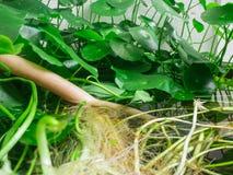 Лотос корня и лист Стоковые Фотографии RF