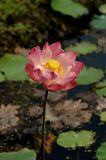Лотос, красивые цветки воды Стоковые Изображения RF