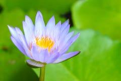 Лотос крупного плана фиолетовый имеет желтый цветень в пруде на зеленых листьях предпосылке лотоса, символе буддизма Стоковые Фото